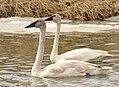 Trumpeter and tundra swan on Seedskadee National Wildlife Refuge (32864214804).jpg