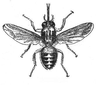 Hippoboscoidea - Tsetse fly (genus Glossina)