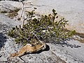 Tuolumne Meadows - Pywiack Dome summit - old pine - 2a.jpg