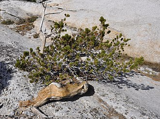 Pinus albicaulis - Pinus albicaulis is the only type of tree on the summit of Pywiack Dome in Yosemite National Park
