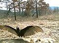 Turkey Vulture at Sky Meadows (5389038712).jpg