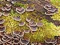 Turkeytail Fungus (Trametes versicolor) - geograph.org.uk - 1073528.jpg