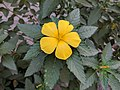 Turnera ulmifolia 38.jpg