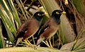 Two Myna sitting together.jpg