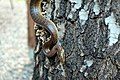 Užovka stromová (1).jpg
