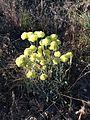 USFWS Umbrella desert buckwheat (19156960835).jpg