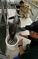 US Navy 030213-N-3783H-009 Zak, a 375-pound California sea lion, gets a physical from a U.S. Army veterinarian and a distracting snack from his trainer.jpg