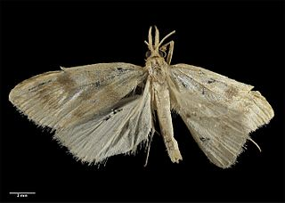 <i>Mnesictena antipodea</i> Species of moth