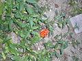 Unbekannte rote Beere Mittelland.JPG