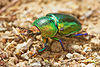 Unidentified Beetle 8526.jpg