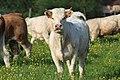 Vaches allée Pré Brus St Cyr Menthon 24.jpg