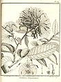 Vantanea guianensis Aublet 1775 pl 229.jpg