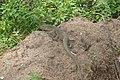 Varanus bengalensis 04688.jpg