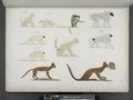 Varie specie di animali quadrupedi (NYPL b14291206-425511).tiff