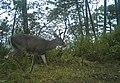 Venado Macho en Bosque de Pino Encino.jpg