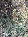 Verbascum bugulifolium 5.JPG