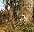 Verreaux's Sifaka. Proithecus verreauxi verreauxi - Flickr - gailhampshire.jpg