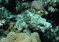 Very cryptic scorpionfish at Shelenyat Reef, Red Sea, Egypt -SCUBA -UNDERWATER -PICTURES (6522135131).jpg