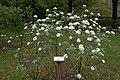 Viburnum lantana (MGK12267).jpg