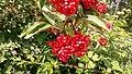 Viburnum sieboldii 2.jpg