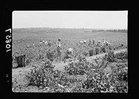 Vintage activities at Richon-le-Zion, Aug. 1939. Gen(eral) view of vineyards S.W. of Richon during grape picking LOC matpc.19748.jpg