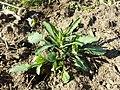 Viola arvensis subsp. arvensis sl4.jpg