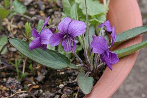 Viola mandshurica - Image: Viola mandshurica (200704)