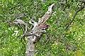 Violet-back Starling (Cinnyricinclus leucogaster) (16619278536).jpg