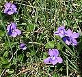 Violets - Viola riviniana - geograph.org.uk - 160497.jpg