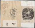 Vipera berus - 1700-1880 - Print - Iconographia Zoologica - Special Collections University of Amsterdam - UBA01 IZ11700149.tif