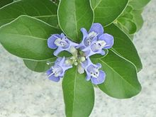 Vitex rotundifolia flowers and foliage in Incheon, Korea