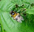 Volucella bombylans.Male. Black-Yellow form - Flickr - gailhampshire.jpg