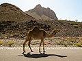 Wandering Camel In Al Dakhiliyah Region (225621721).jpeg