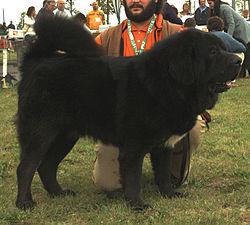 Tibetská doga - jedenáctiměsíční pes