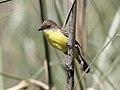 Warbling Doradito (Pseudocolopteryx flaviventris) (15773188928).jpg