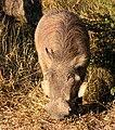 Warthog Kruger Park.jpg