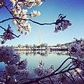 Washington Monument at Peak Bloom.jpg