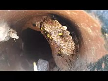 File:Wasp nest.webm