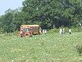 Watermellon harvest 3.jpg