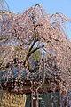 Weeping cherry tree in Himuro jinja 20150326 02.jpg