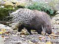 Weissschwanzstachelschwein Hystrix indica Tierpark Hellabrunn-12.jpg