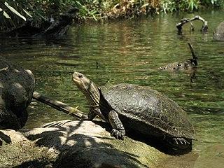 Caspian turtle species of reptile