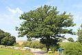 Weydig oak 2012-08.JPG