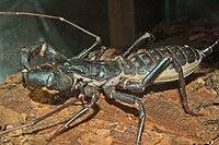 Whipscorpion.jpg