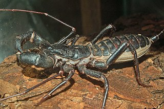 Thelyphonida Order of arachnids known as whip scorpions