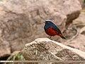 White-capped Redstart (Chaimarrornis leucocephalus) (45712018665).jpg