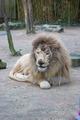 White Lion at the Zoo de la Flèche (9).tiff