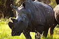 White Rhino Kwafubesi, Limpopo Provence South Africa.jpg