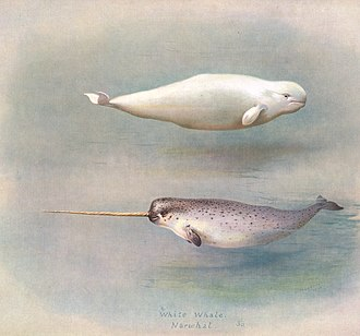 Narwhal - Illustration of a narwhal and a beluga, its closest living relative
