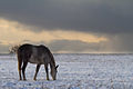 White horse, winter, Burtnieki.jpg